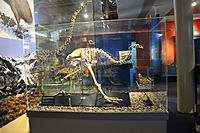 The skeleton of female upland moa