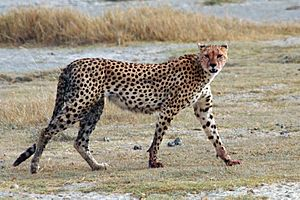 Acinonyx jubatus walking edit