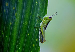 Grasshopper eating the maize leaf