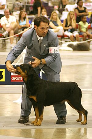 Rottweiler Conformation Showing