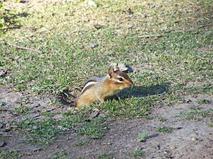 Chipmunk-burrow (exits)