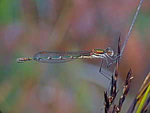 Cup ringtail damselfy Austrolested psyche (37325196754).jpg