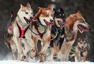 Iditarod Ceremonial start in Anchorage, Alaska