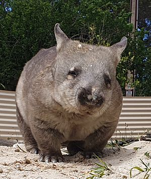 Pebbles the Southern Hairy-nosed Wombat