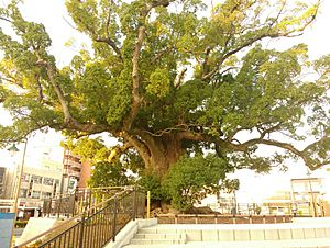 The Great Camphor tree in Iwata