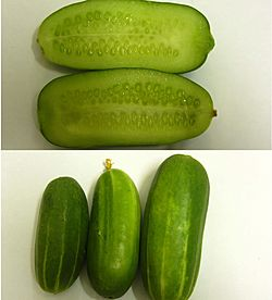 Persiancucumber