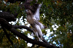 Red-tailed-hawk-nyc-oct-2010