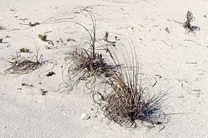 Sea oats (Uniola paniculata) on a Florida sand dune.