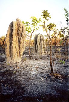 Termite cathedral mounds in a bushfire blackened tropical savanna