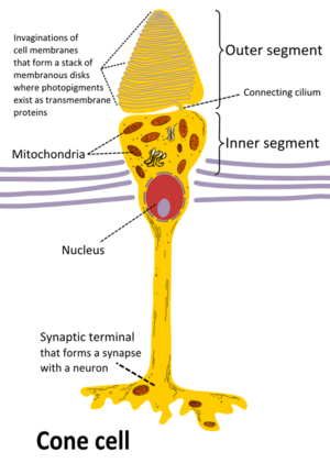 Cone cell eng
