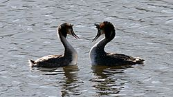 Great Crested Grebe (Podiceps cristatus) (1)