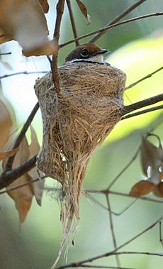 Rufous Fantail on nest