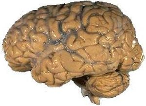 Brain facts for kids brain facts ccuart Images