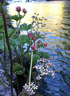 Indian rhubarb (Darmera peltata) on McCloud River