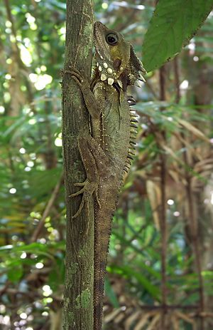 Boyd's Forest Dragon on tree Alt Edit3.jpg