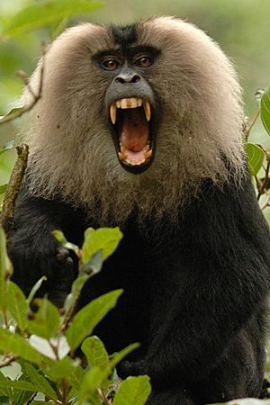 Lion-tailed macaque canine
