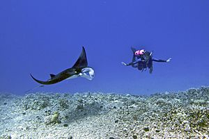 Female scuba diver swims with a young male Manta ray - Kona district, Hawaii