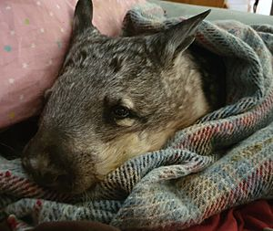 Wombat awareness organisation