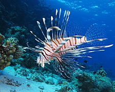 Common lionfish at Shaab El Erg reef (landscape crop)