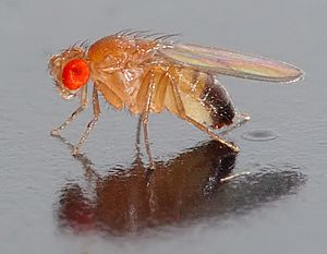 Drosophila melanogaster - side (aka)