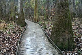 A slightly elevated wooden boardwalk passes through an old growth forest of bald cypress and water tupelo trees