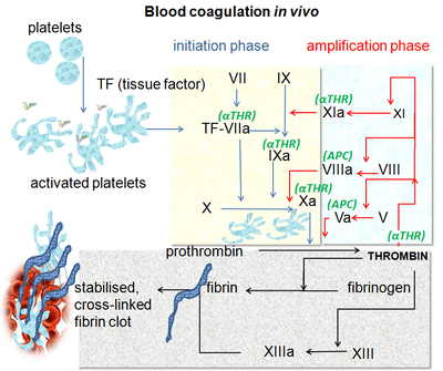 Coagulation in vivo