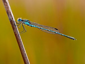 Cup ringtail damselfly Austrolestes psyche (22219876471).jpg
