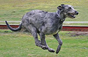 Irish Wolfhound Attila