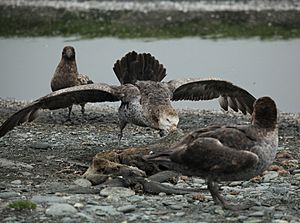 Northern Giant Petrel takes its turn at the seal carcass (5724579043)