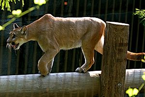 Puma at the memphis zoo