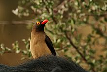 Red billed oxpecker close.jpg