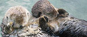 Sea otters holding hands, cropped