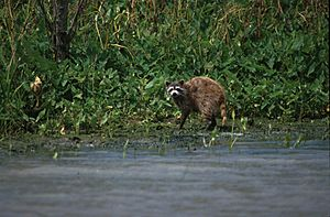 Raccoon in bayou