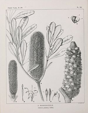 Banksia paludosa illustration
