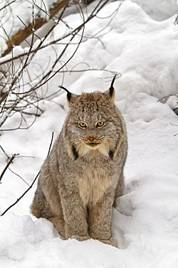 Canada Lynx Facts For Kids