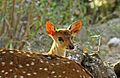 Chital young 1