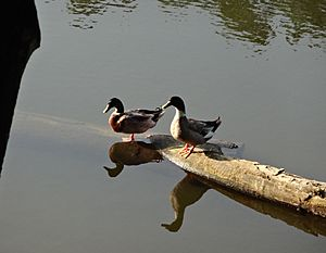 Ducks in the ponds