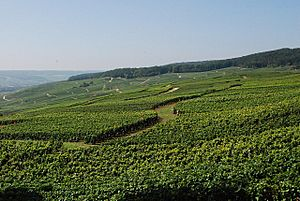 Vineyards of Champagne
