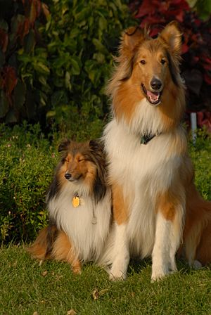 Shetland Sheepdog and Rough Collie