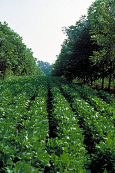 Missouri soybean and walnut alley cropping (25706978934)