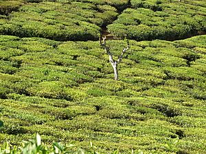 Tea plantation in India02