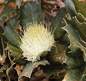 Closeup of cream-yellow inflorescence nestled among prickly green leaves