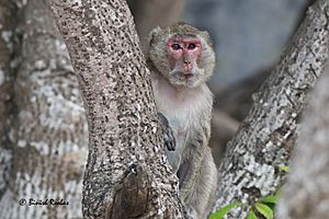 Indochinese Rhesus Macaque