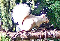 Whitesquirrel
