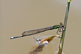 Pseudagrion dispar male