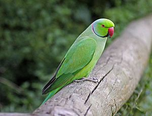 Rose-ringed Parakeet RWD