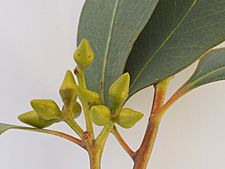 Eucalyptus dealbata buds