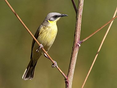 Grey-headed Honeyeater 2506