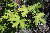 Bigtooth Maple Leaves