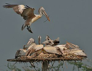 Spot-billed Pelican (Pelecanus philippensis) landing with nesting material at nest with chicks W2 IMG 2857